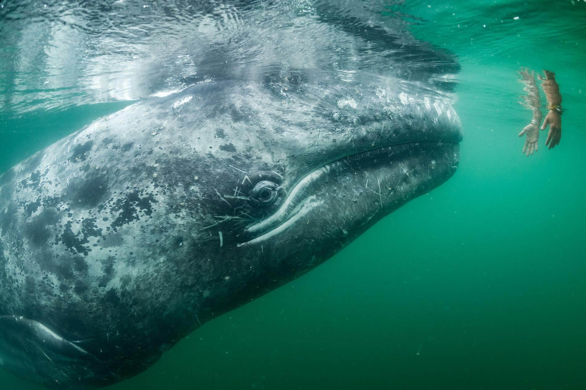 Сірий кит підплив до туристів в Мексиці.