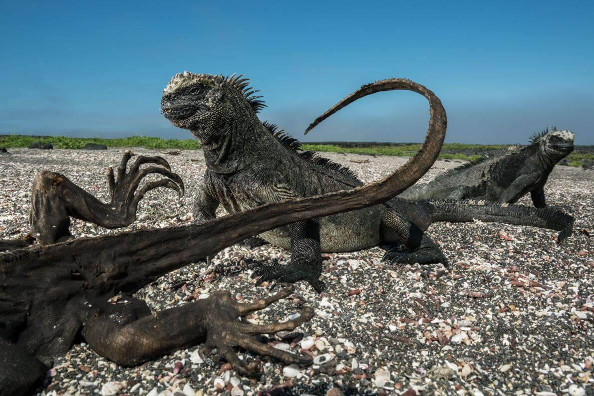Дві морські ігуани поруч з ігуаною-мумією на острові Фернандіна найкращі фотографії за 2017 рік