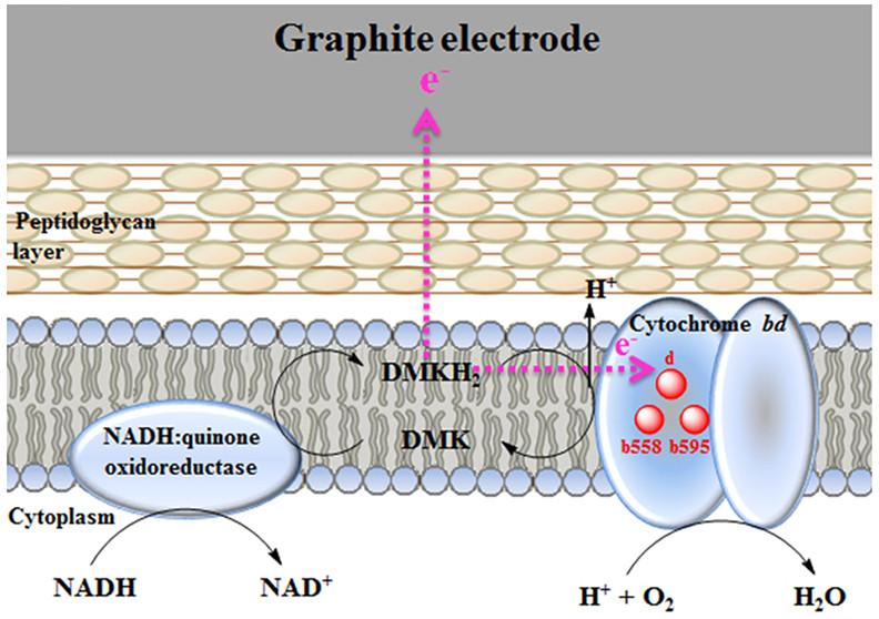 Бактерія яка виробляє електроенергію знайдена в кишечнику