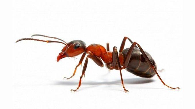Що буде робити мураха, якщо виявиться далеко від мурашника?