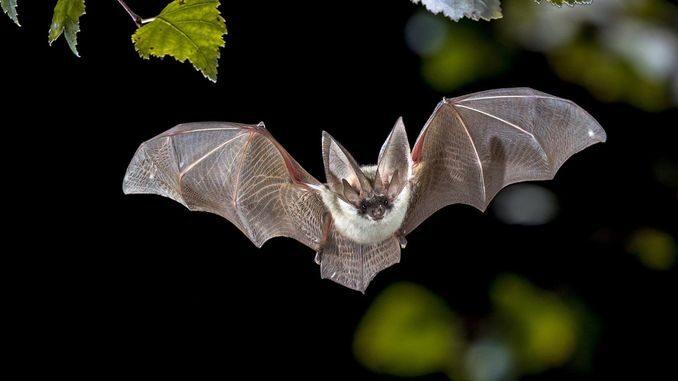 В кажанів знайшли віруси, майже ідентичні коронавірусу